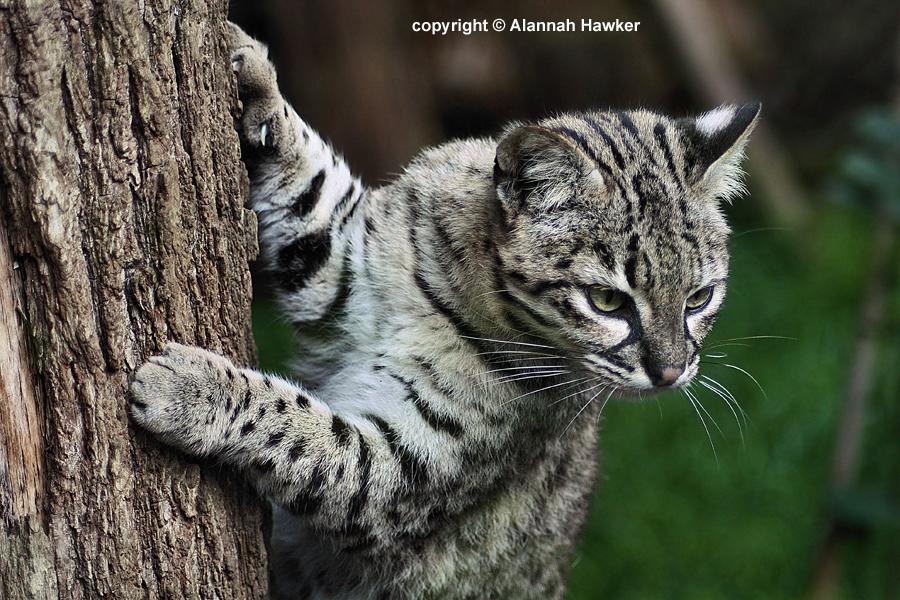 Geoffroy S Cat Kitten Video