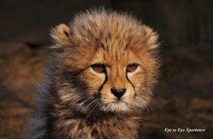 cheeta-welp-1-300x196.jpg
