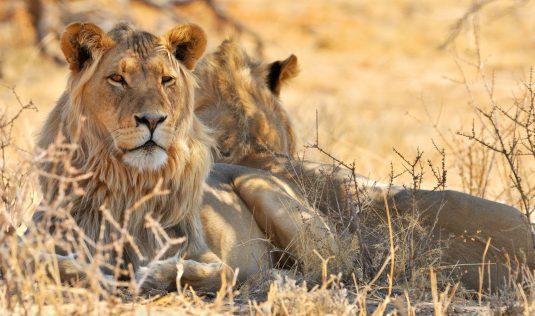World Lion Day maar het is geen feestje voor de Koning der dieren