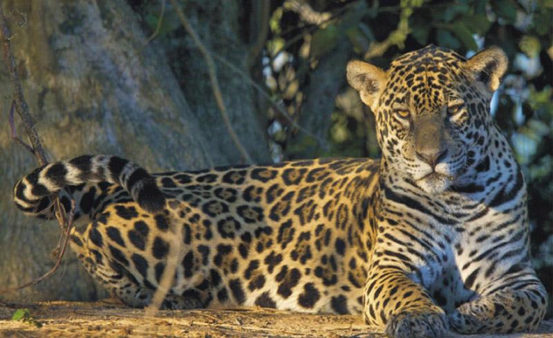 jaguar | stichting spots